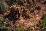 Brown bear watches from steep rocky outcrop