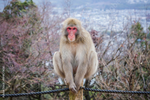 Monkey on the top of the arashiyama mountain in Japan.