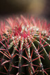 This barrel cactus at the Desert Botanical Garden in Phoenix shows off its red spines.