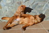 Brown dog enjoying a massage by a red cat - 164626885