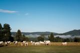 cow farm - 164634403