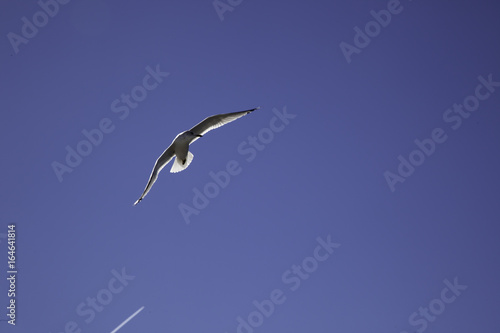 Seagull flying in  a blue sky Poster