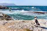 african penguin on Boulders beach in Cape Town, South Africa - 164646695