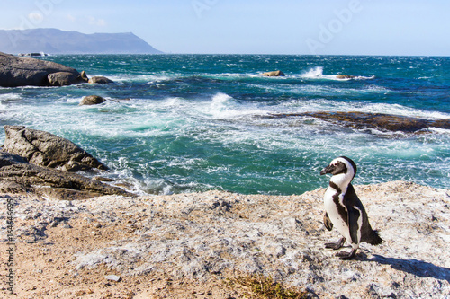 Aluminium Pinguin african penguin on Boulders beach in Cape Town, South Africa
