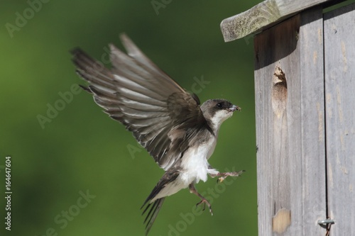 Tree Swallow Feeding Bringing Food To Nest