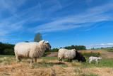 Black sheep with lamb - 164647800