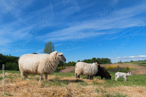 Black sheep with lamb