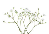 Twigs with flowers of Gypsophila isolated on white background. - 164678299