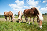 Haflinger Pferde auf Koppel in Sonne