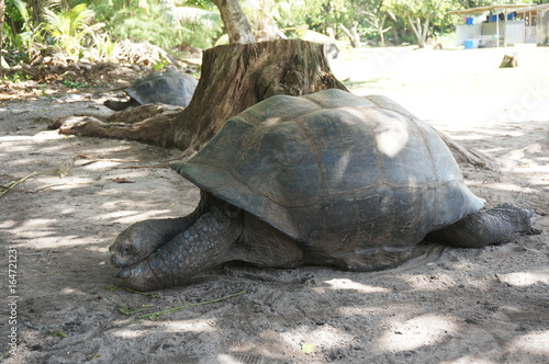 Seychelles tortue Poster