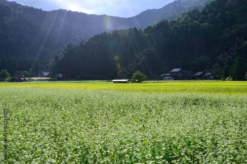 蕎麦の花 美山の里 京都