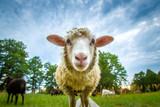 Sheep looking at the camera - 164731410