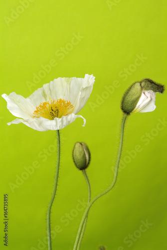 Weiße Mohnblume, Papaver rhoeas - AS