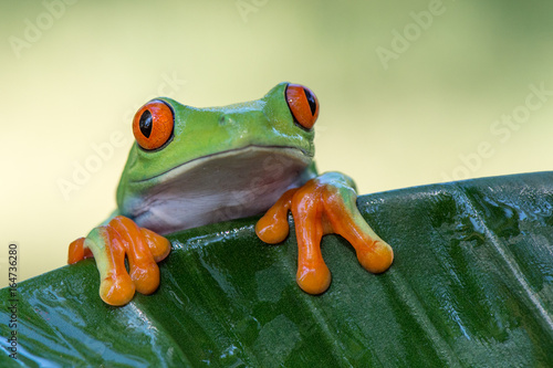 Plakat Frog(Agalychnis callidryas)