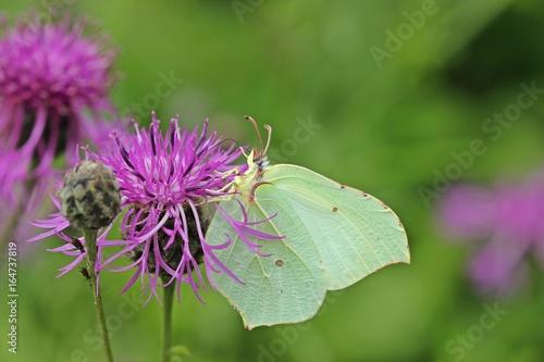 Weiblicher Zitronenfalter (Gonepteryx rhamni)  an Skabiosen-Flockenblume