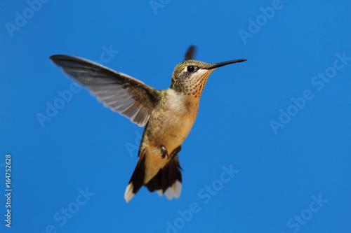 Rubinowy koliber (archilochus colubris)