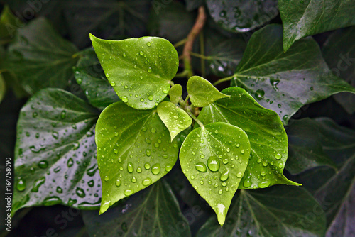 Rain drops on green leaves Poster