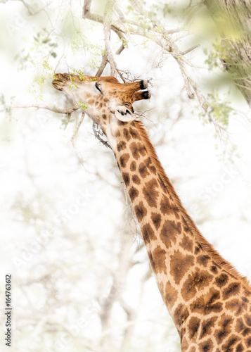 Obraz Fotograficzny Giraffe Grazing From Tree in South Africa