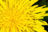 Yellow spring dandelion, macro