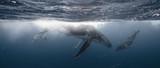 Whale Kiss - Mother & Calf - Tonga - 164785623