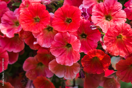 Staande foto Roses colorful petunia