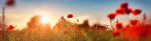 Beautiful poppy flowers on the field at sunset - 164800063