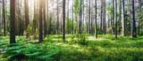 Piękny dzikie lasy