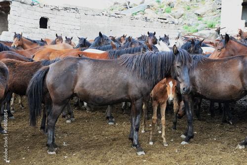 yilki horses  © yilmazuslu