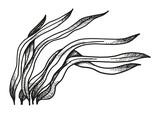Water plants hand-drawing. Alga vector illustration