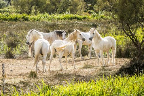 lumière du soir sur un groupe de chevaux camarguais