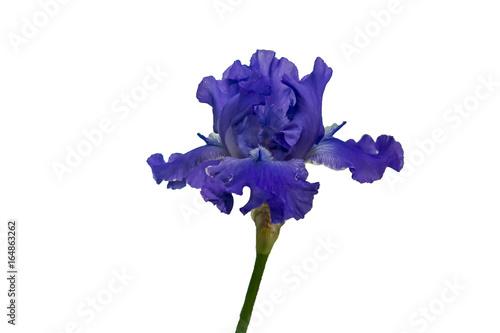 Fotobehang Iris blue iris flower isolated on white