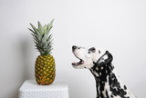 Dog dalmatian and pineapple on a white background. Open mouth
