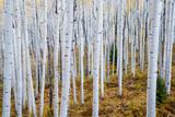 Autumn Aspen Grove - 164875435
