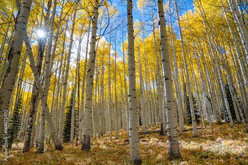 Plexiglas Berkenbos Autumn Aspen Sunburst