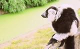 lémurien noir et blanc,(Varecia variegata),assis dans un parc animalier