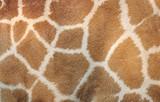 Giraffe golden