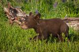 Black Bear Cub (Ursus americanus) Walks Left in Grass