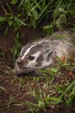 North American Badger (Taxidea taxus) Snarls Close Up - 164881840
