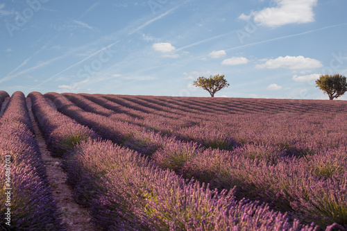 Canvas Lavendel Lavender field in Provence, France