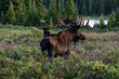 Pair of Bull Moose