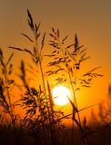 Roślin na tle złotego zachodu słońca