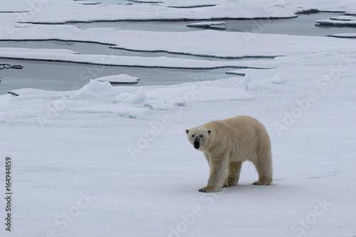Fotobehang Ijsbeer Prächtiger Eisbär