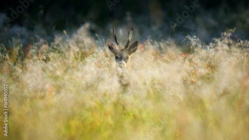 Sarna / kozioł wśród traw na dzikiej łące