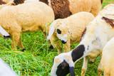 sheep - 164945675