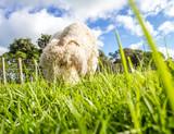 sheep on a farm, green grass background