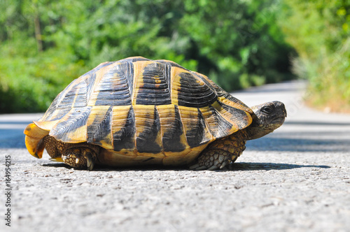 Foto op Aluminium Route 66 Hermann's tortoise (Testudo hermanni) on the middle of the road. Turtle crossing asphalt road