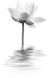 lotus en noir et blanc