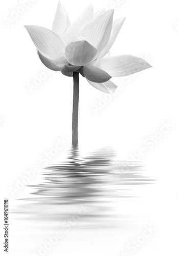 lotus en noir et blanc Poster