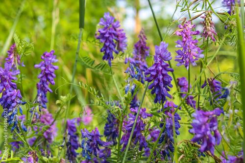 Красивые фиолетовые полевые цветы в поле летом