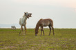 flock of domestic horse eating green grass in field - 164966447